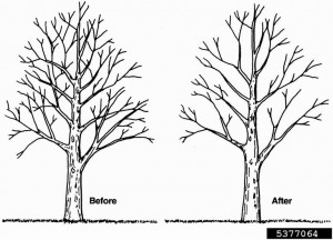 Image courteousy of treeremoval.com, the tree-pruning experts.